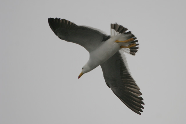 Band-tailed Gull © 2007 Fraser Simpson
