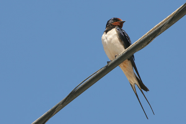 Barn Swallow © 2005 Fraser Simpson