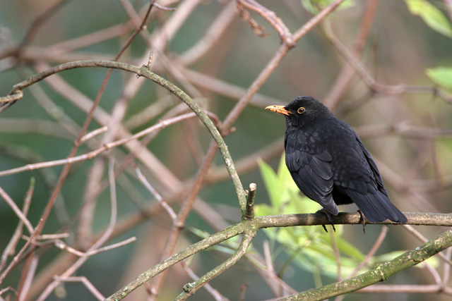 Common Blackbird © 2007 Fraser Simpson