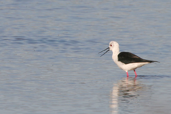 Black-winged Stilt � 2005 Fraser Simpson
