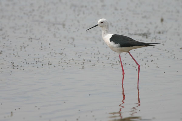 Black-winged Stilt � 2006 Fraser Simpson