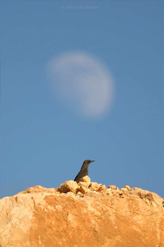 Blue Rock Thrush © 2008 Fraser Simpson