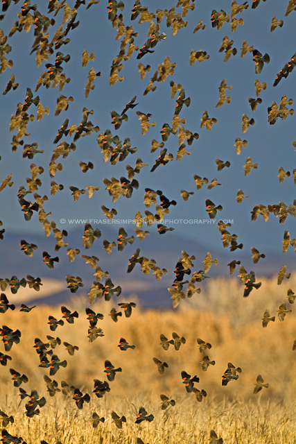 Red-winged Blackbirds, New Mexico