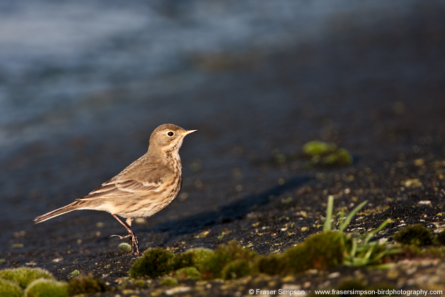 Buff-bellied Pipit © 2012 Fraser Simpson