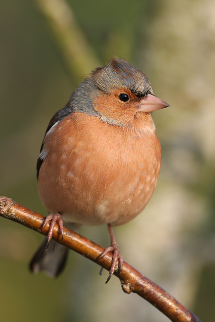 Common Chaffinch © 2008 Fraser Simpson