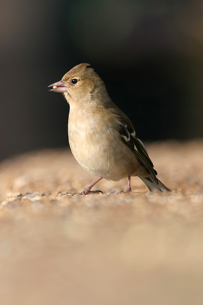 Common Chaffinch © 2007 Fraser Simpson