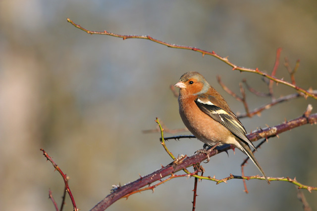Common Chaffinch © 2005 Fraser Simpson