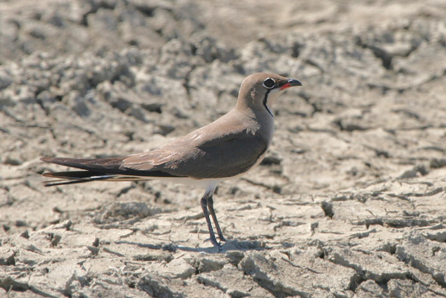Collared Pratincole © 2005 Fraser Simpson