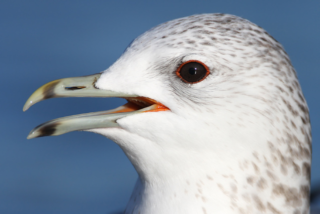 Common Gull © 2008 Fraser Simpson