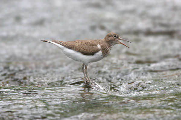Common Sandpiper  © 2005 Fraser Simpson