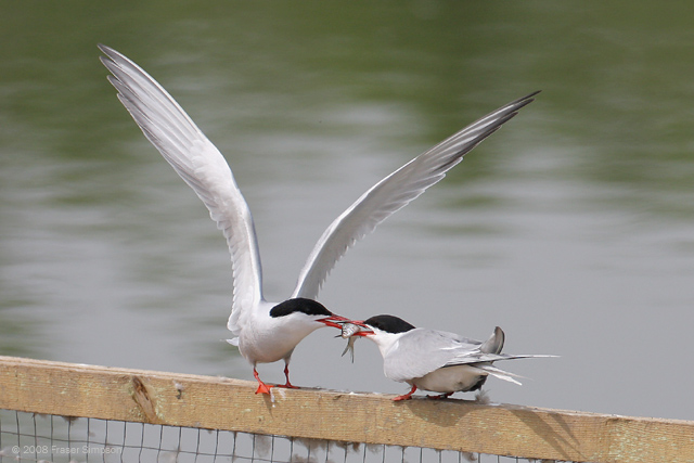 Common Tern � 2008 Fraser Simpson