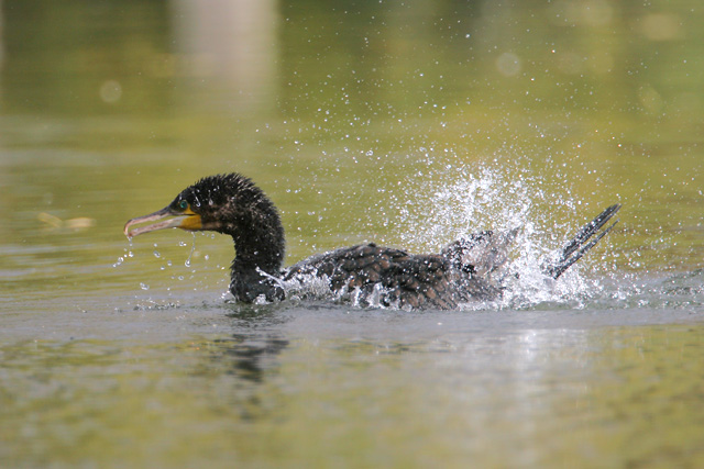 Great Cormorant � 2007 Fraser Simpson
