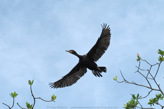 Double-crested Cormorant � 2012 Fraser Simpson