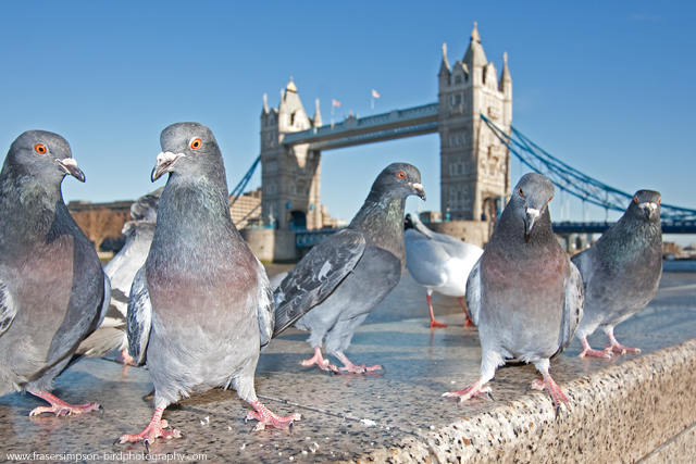 Feral Pigeons, England