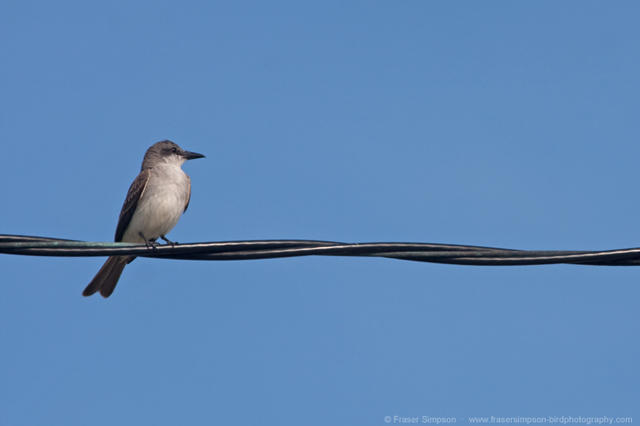 Gray Kingbird © 2010 Fraser Simpson