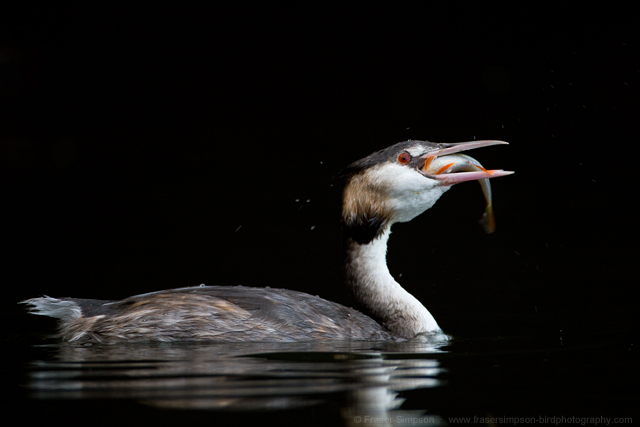 Great Crested Grebe © 2014 Fraser Simpson