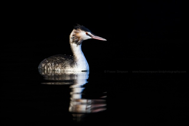 Great Crested Grebe © 2013 Fraser Simpson