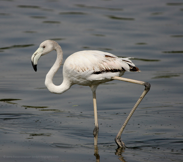Greater Flamingo © 2008 Fraser Simpson