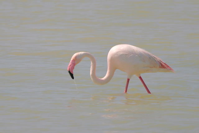 Greater Flamingo © 2007 Fraser Simpson