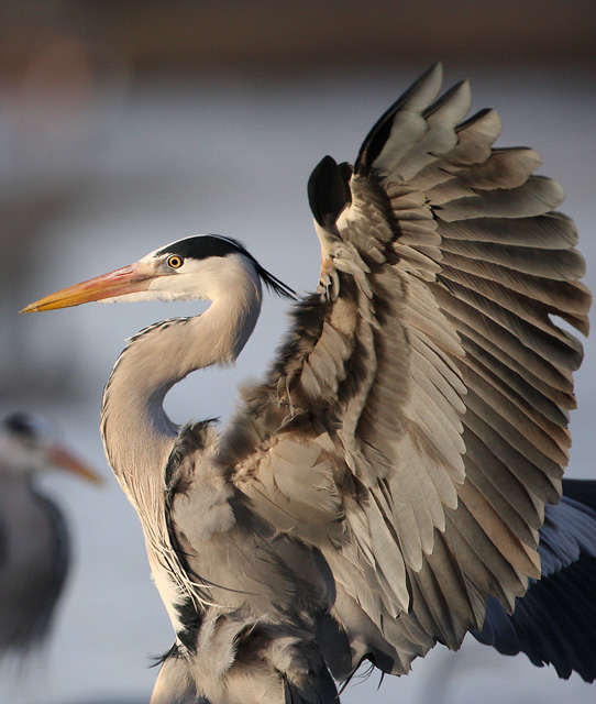 african animals of grey heron flying images
