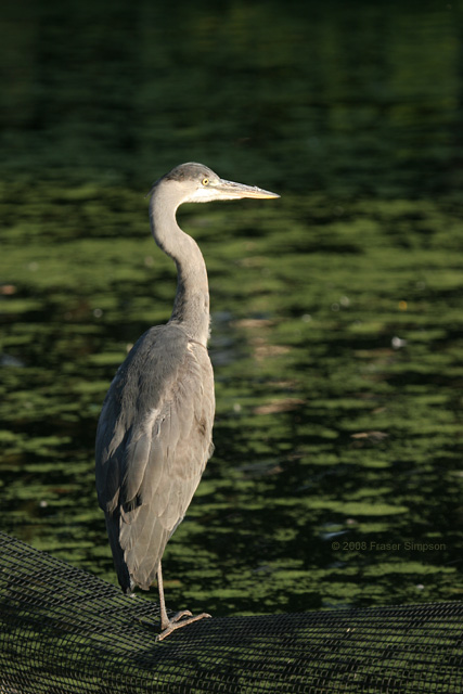 Grey Heron � 2008 Fraser Simpson