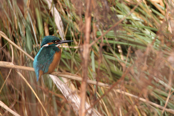 Kingfisher © 2007 Fraser Simpson