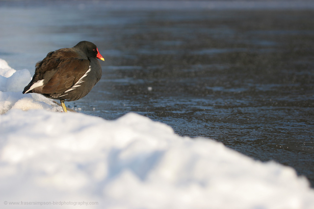 Common Moorhen © 2009 Fraser Simpson