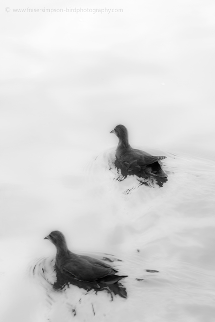 Common Moorhen © 2010 Fraser Simpson