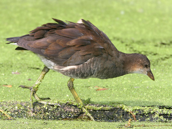 Common Moorhen © 2006 Fraser Simpson