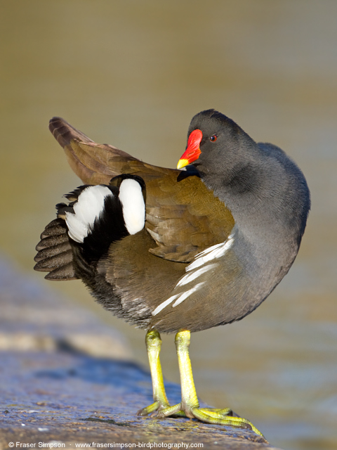 Common Moorhen © 2013 Fraser Simpson