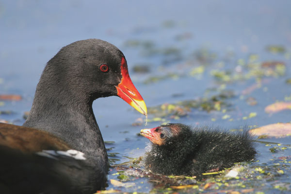 Common Moorhen © 2005 Fraser Simpson