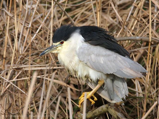 Night Heron � 2009 Fraser Simpson
