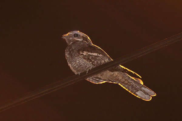 European Nightjar © 2006 Fraser Simpson