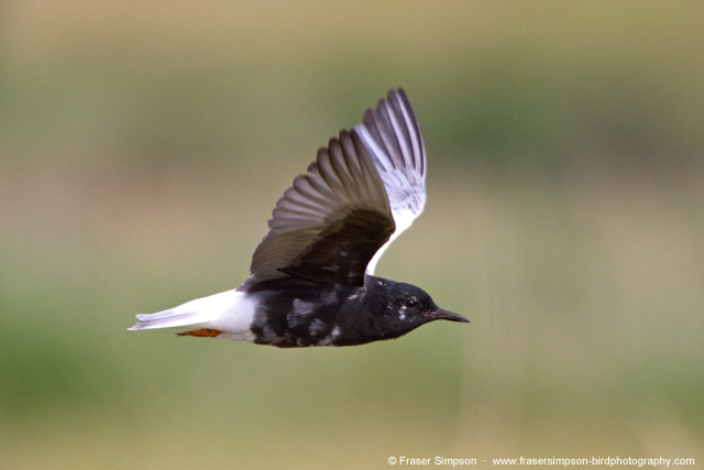 White-winged Black Tern © 2017 Fraser Simpson