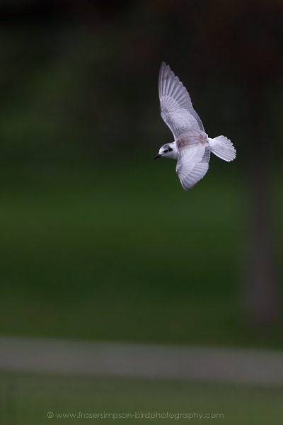 White-winged Black Tern © 2010 Fraser Simpson